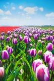 Flores roxas durante o verão, Países Baixos da tulipa Foto de Stock