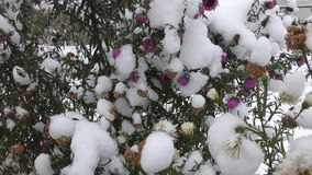 Flores roxas e amarelas sob a neve video estoque