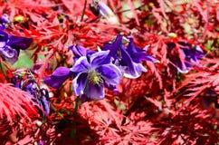 Flores roxas e arbusto vermelho Foto de Stock Royalty Free