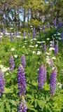 Flores roxas e brancas imagem de stock royalty free