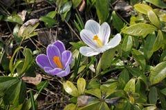 Flores roxas e brancas do açafrão que florescem na primavera Fotografia de Stock Royalty Free