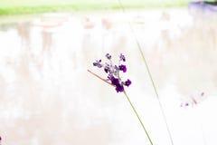 Flores roxas e branco Imagens de Stock