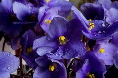 Flores roxas e gotas Fotos de Stock Royalty Free