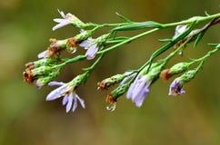 Flores roxas e gotas da chuva Imagem de Stock