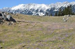 Flores roxas e montanhas nevado Fotografia de Stock