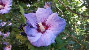 Flores roxas em férias de verão Fotografia de Stock Royalty Free