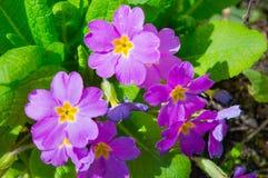 Flores roxas em um jardim Imagens de Stock Royalty Free