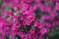 Flores roxas em um jardim Fotografia de Stock