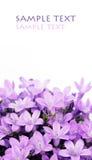 Flores roxas encantadoras Imagem de Stock Royalty Free