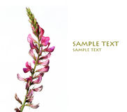 Flores roxas encantadoras Imagens de Stock Royalty Free