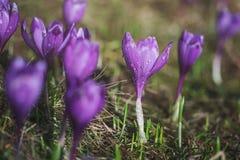 Flores roxas ensolarados do açafrão na primavera Fotos de Stock