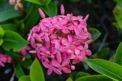 Flores roxas entre a folha verde Imagens de Stock Royalty Free