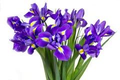 Flores roxas escuras da íris fotos de stock royalty free