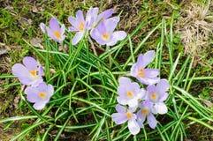 Flores roxas frescas naturais do açafrão na primavera Fotos de Stock Royalty Free
