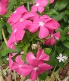 Flores roxas macias, bonitas fotografia de stock