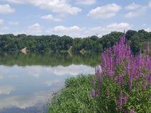 Flores roxas mas o lago Imagens de Stock Royalty Free