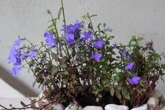 Flores roxas minúsculas em um vaso fotografia de stock royalty free