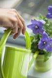 Flores roxas molhando com uma lata molhando verde Fotografia de Stock Royalty Free
