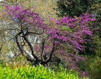 Flores roxas na árvore foto de stock