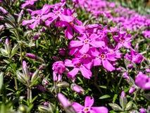 Flores roxas na flor Imagem de Stock Royalty Free
