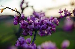 Flores roxas no crepúsculo fotos de stock