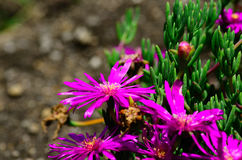 Flores roxas no jardim Foto de Stock Royalty Free