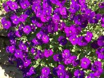 Flores roxas no jardim, luz do fim da tarde imagem de stock royalty free