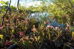 Flores roxas no norte, grama norte, verão na tundra Fotografia de Stock