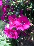 Flores roxas pequenas fotografia de stock
