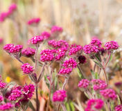 Flores roxas pequenas Foto de Stock