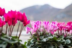 Flores roxas pequenas em Noruega Fotografia de Stock