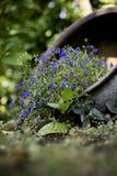 Flores roxas pequenas em um potenciômetro de flor Fotografia de Stock Royalty Free