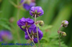 Flores roxas selvagens Fotos de Stock Royalty Free