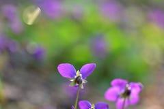 Flores roxas selvagens com fundo verde obscuro Fotos de Stock Royalty Free