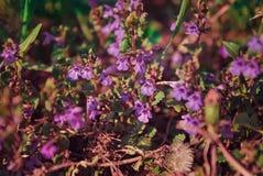 Flores roxas selvagens pequenas no campo fotografia de stock royalty free