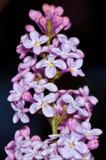 Flores roxas sobre o fundo escuro Fotos de Stock Royalty Free