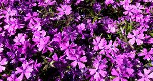 Flores, roxo, alfazema, perennials, aglomerados fotos de stock