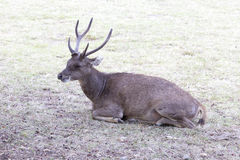 A Flores rusa deer is resting Royalty Free Stock Photography