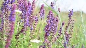 Flores sabias en prado con las abejas en ellas almacen de metraje de vídeo