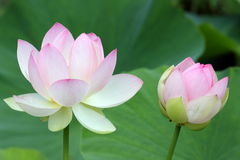 Flores sagrados dos lótus Imagem de Stock Royalty Free