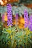 flores Salvaje-crecientes del lupine Foto de archivo libre de regalías
