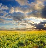 Flores salvajes amarillas bajo los cielos dramáticos de la puesta del sol Foto de archivo libre de regalías