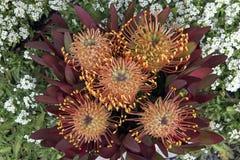 Flores salvajes australianas foto de archivo