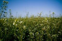 Flores salvajes blancas fotos de archivo