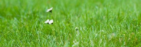 Flores salvajes blancas de la manzanilla pequeñas en un fondo de la hierba verde imagen de archivo
