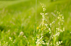 Flores salvajes blancas en un fondo verde Foto de archivo