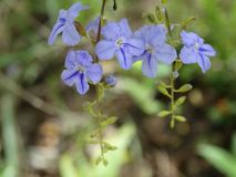 Flores salvajes, color azul, Sri Lanka fotos de archivo libres de regalías