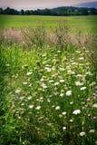 Flores salvajes con el campo Fotografía de archivo