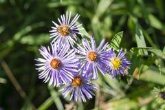 Flores salvajes con una abeja Imagen de archivo