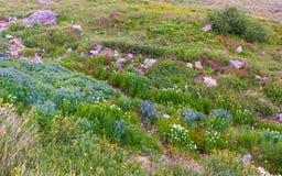 Flores salvajes de Colorado Fotos de archivo libres de regalías